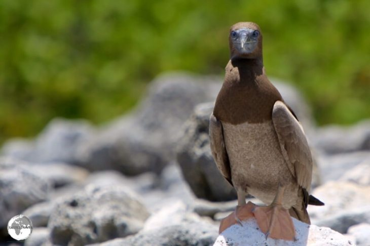 Juvenile Brown Booby on Cayman Brac.
