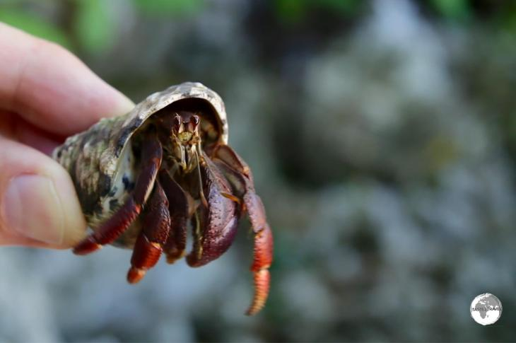 Hermit crab Cayman Brac