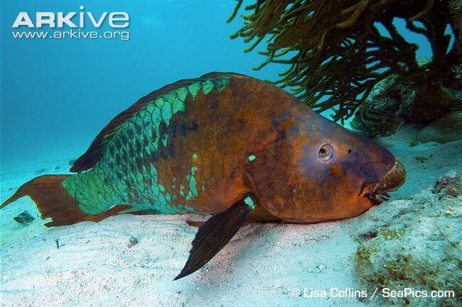 The Rainbow Parrot-fish is the largest herbivorous fish in the Atlantic with males reaching 1.2 metres.