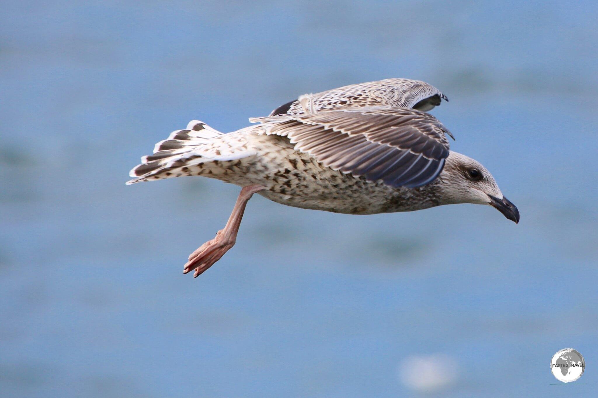Icleandic seagull flying at Ólafsvík.