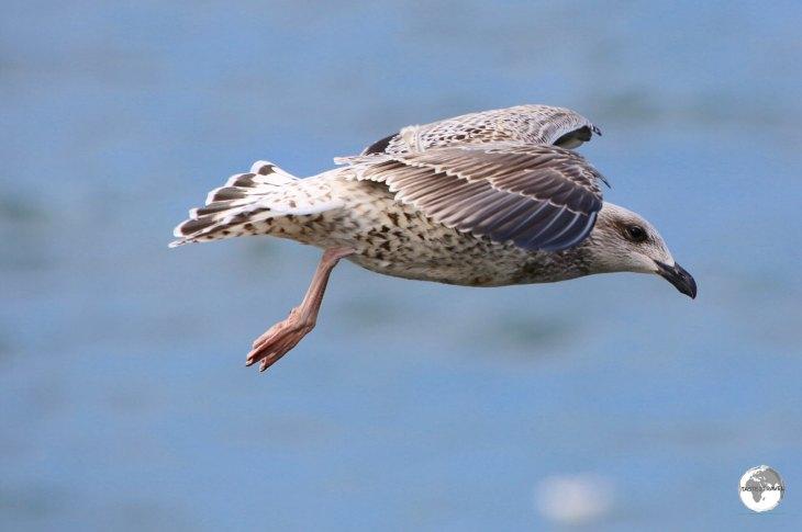 Icleand gull flying at Ólafsvík.