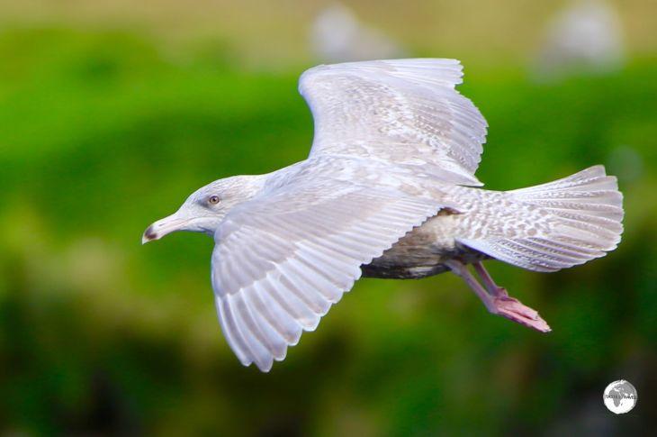 Iceland gull.