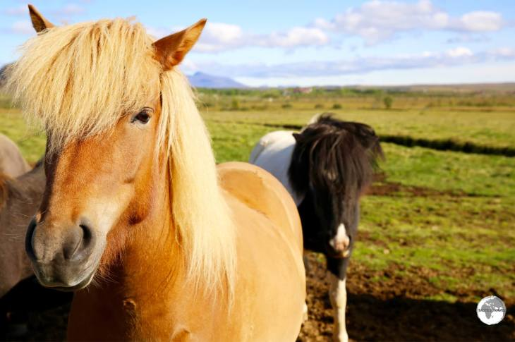 Icelandic horses on the Golden Circle.