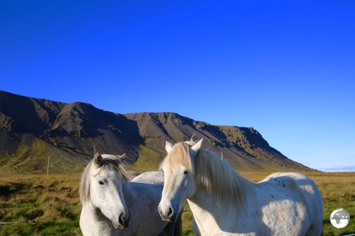 Icelandic horses can be seen all over the island.
