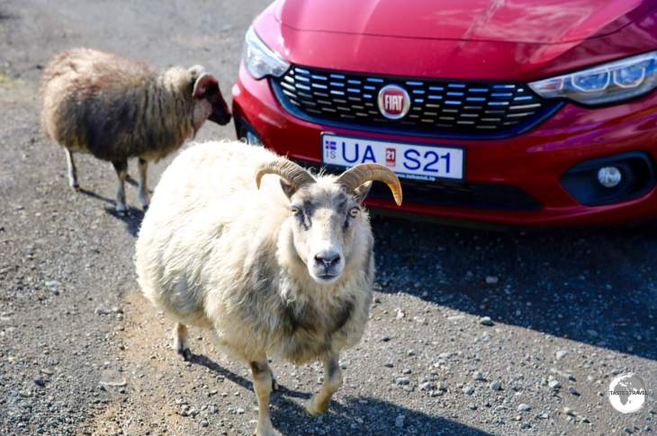 I did make some friends while driving around Iceland, like these friendly Icelandic sheep. who surrounded my car so I couldn't leave them.