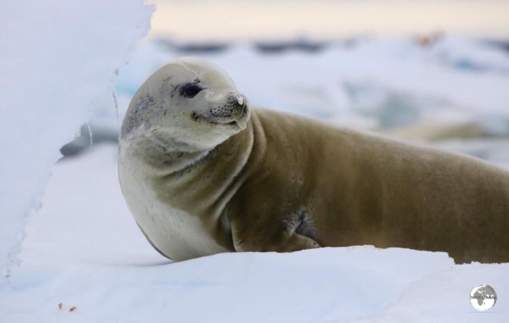 Crabeater seals, such as this one at Adelaide Island, are hunted by Leopard seals and Orca whales, who prey on them by bumping them off ice floes.