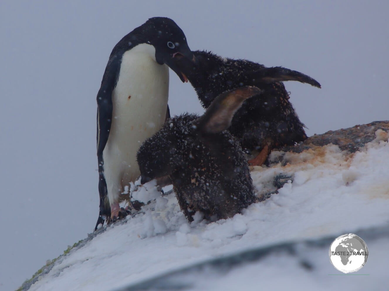 An Adélie penguin feeding its chick's on the Yalour islands.