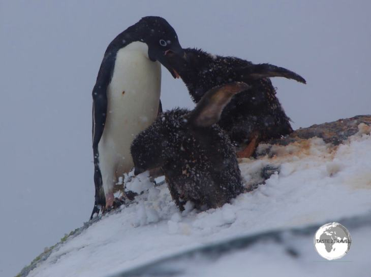 An Adélie penguin feeding its chick's, during a raging blizzard, on the Yalour Islands.