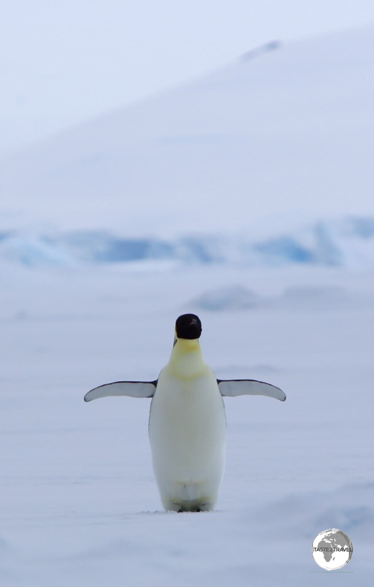 The elusive Emperor penguin is the tallest and heaviest of all penguins. This one in Crystal Sound is nearing completion of its annual Catastrophic Molt.