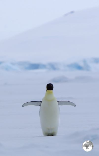 An Emperor penguinin Crystal Sound.