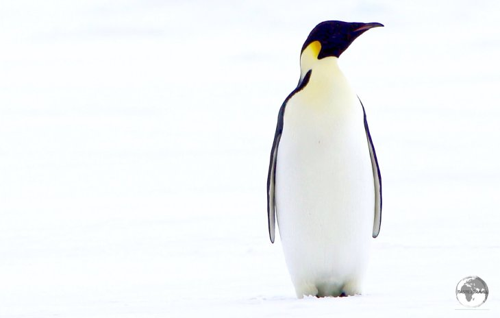 Emperor penguins, such as this one at Crystal Sound, are easily distinguished by their large size and the yellow patches on either side of their face.
