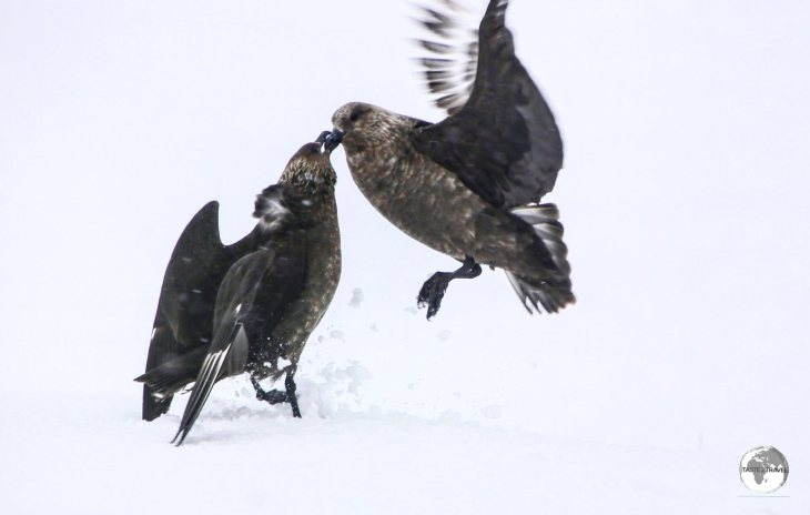 South Polar Skuas fighting on Petermann Island.