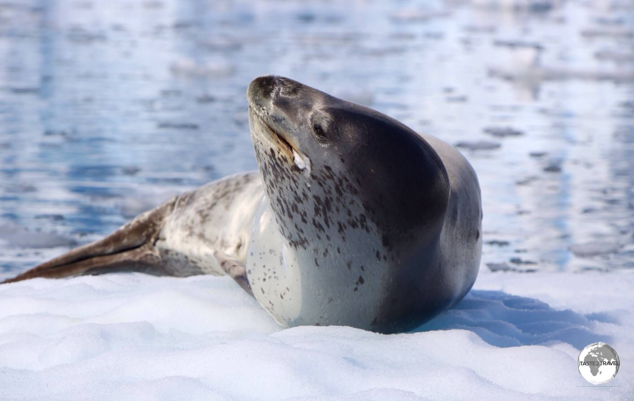 The Leopard seal is easily identified by its reptilian-like head.