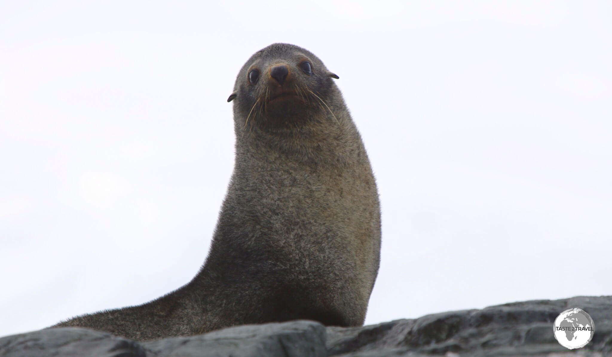 Almost hunted to extinction, the Antarctic Fur Seal has made a comeback with population estimates of around 4 million.