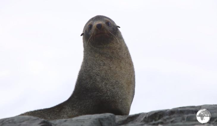 Antarctic fur seals, such as this cute guy on Trinity Island, have made a remarkable comeback after being close to extinction.