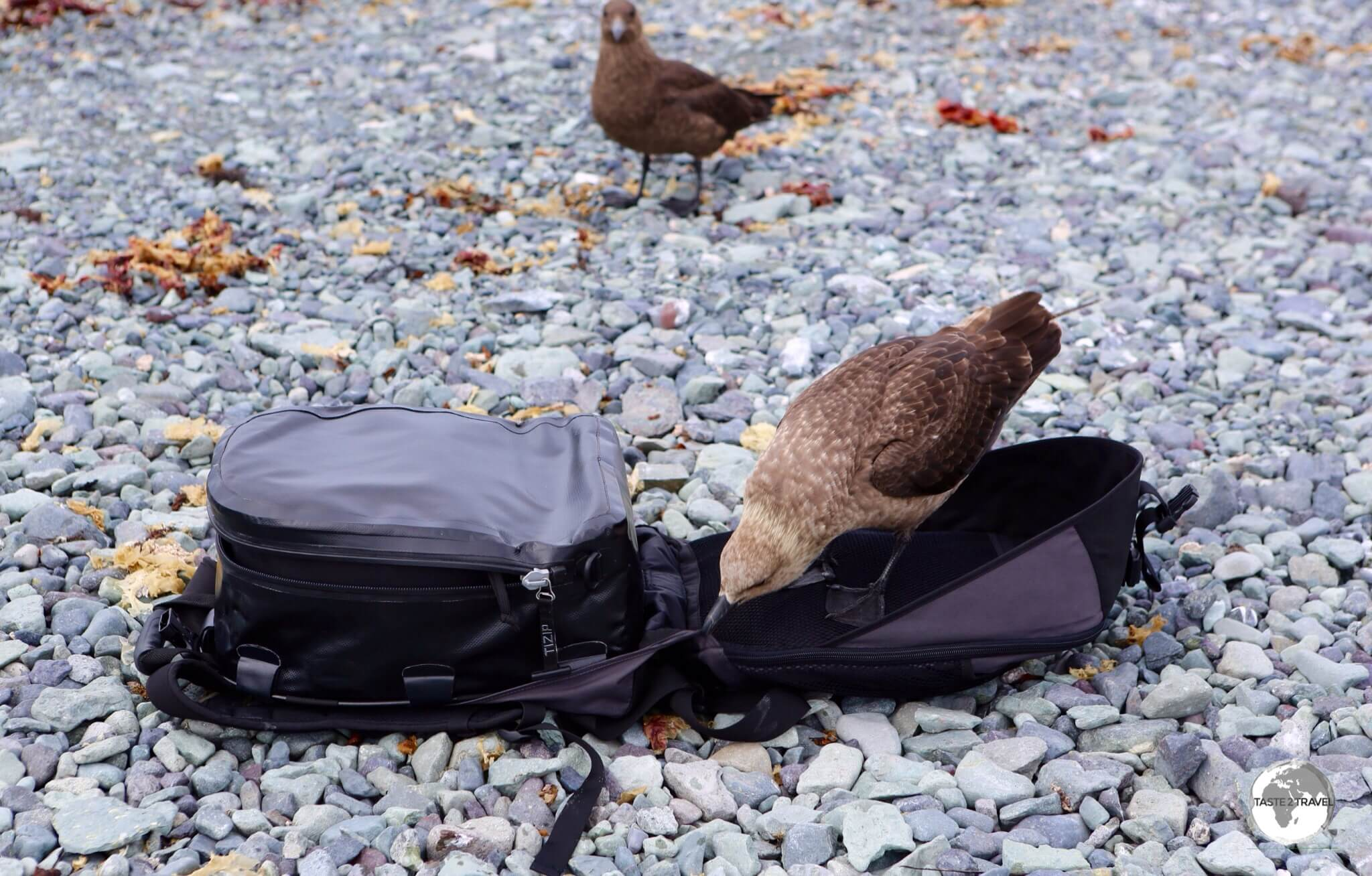 A curious Brown Skua investigates my camera bag on D'Hainaut Island.