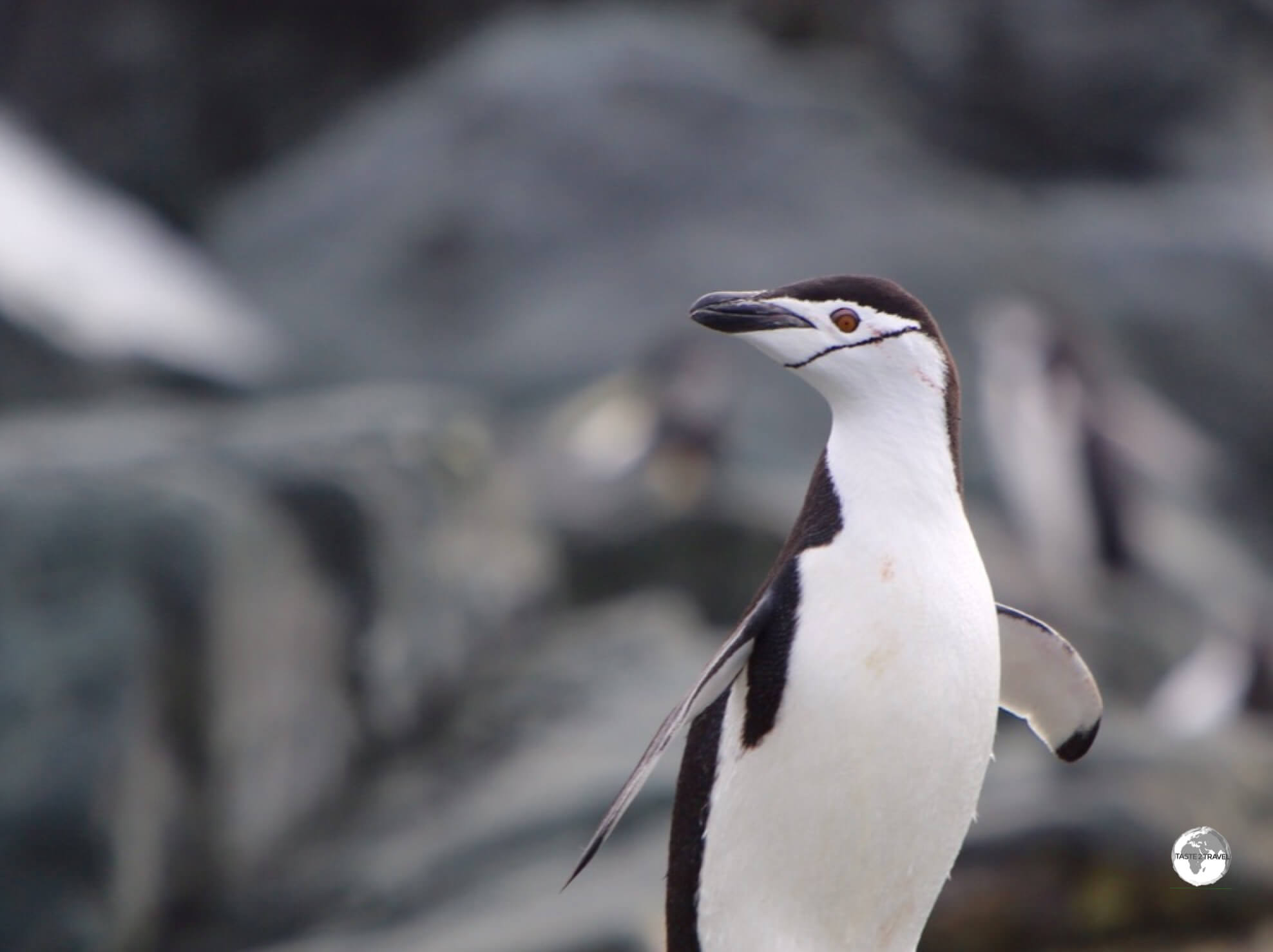 Chinstrap penguins get their name from the fine black line which runs, from cheek-to-cheek, across their white face.