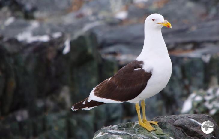 A Kelp Gull on Detaille island.
