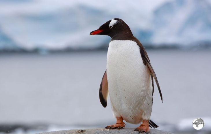 Strike a pose! A friendly Gentoo penguin at Port Lockroy.