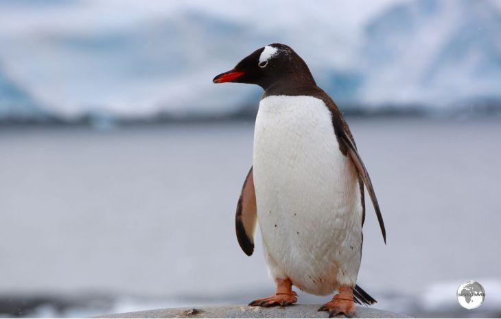 A curious Gentoo penguin at Port Lockroy.