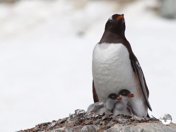 A Gentoo penguin, with her chick's, at the busy breeding colony on Danco Island.