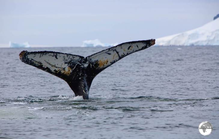 The pattern on the underside of their fluke is a unique identifier for Humpback whales.