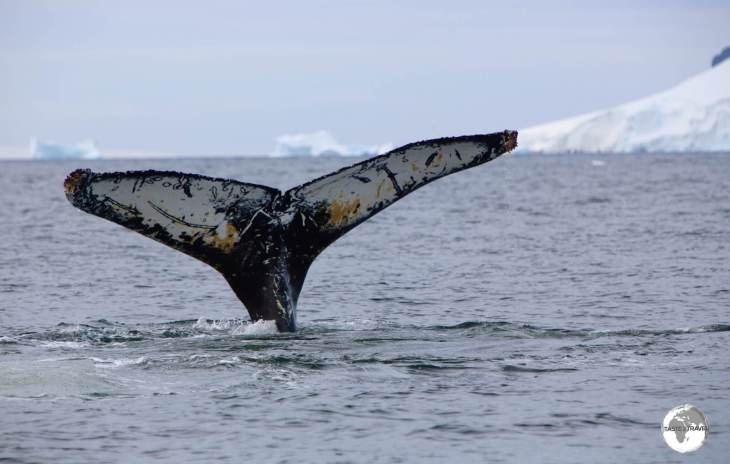 A Humpback whale diving in Wilhelmina Bay. The pattern on the underside of their fluke is a unique identifier.