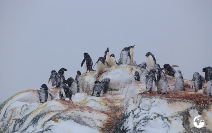 A raging blizzard envelopes an Adélie penguin breeding colony on one of the many rocky islets of the Yalour islands.