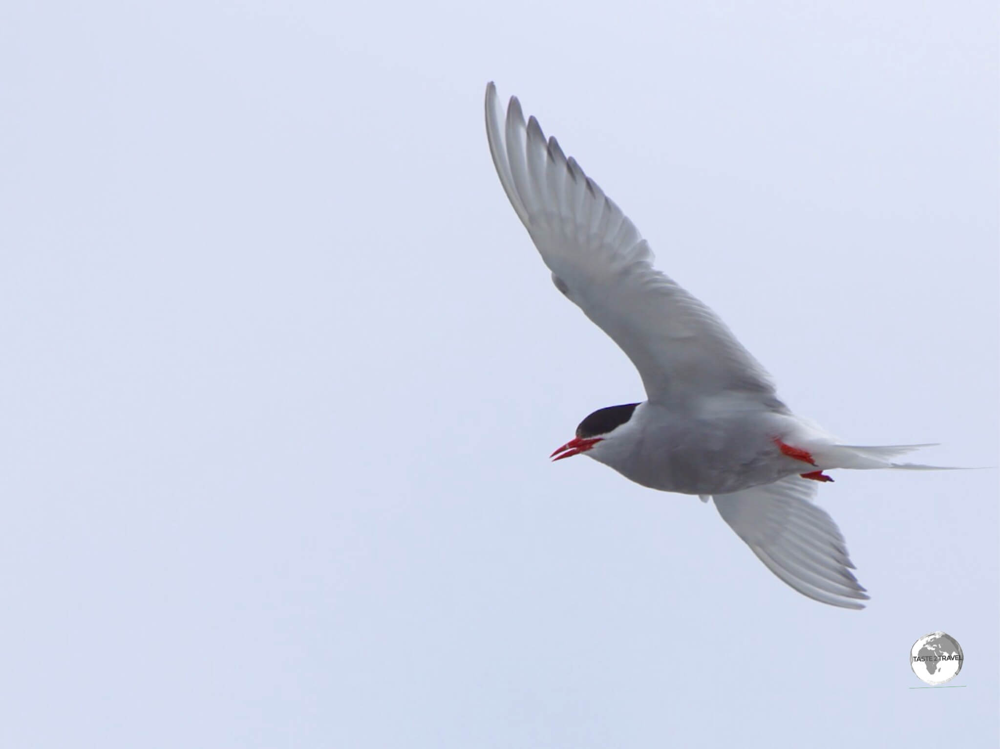 An Antarctic Tern flying over Base Brown.