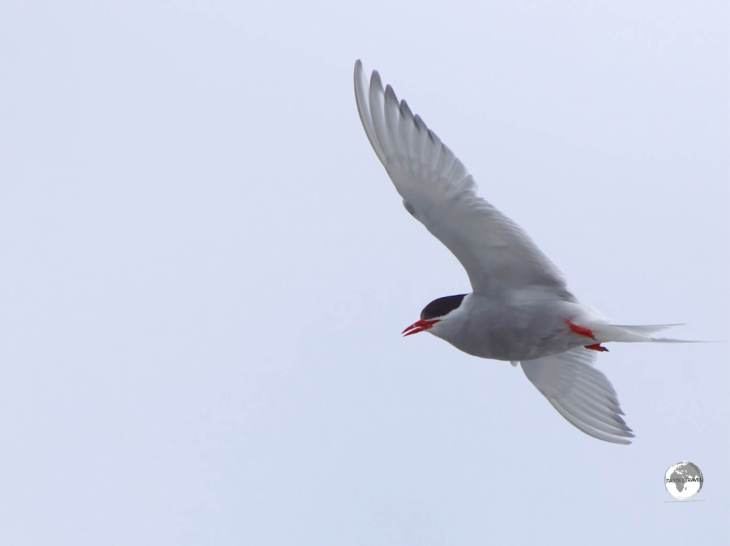 An Antarctic tern, flying over Base Brown in Paradise bay.
