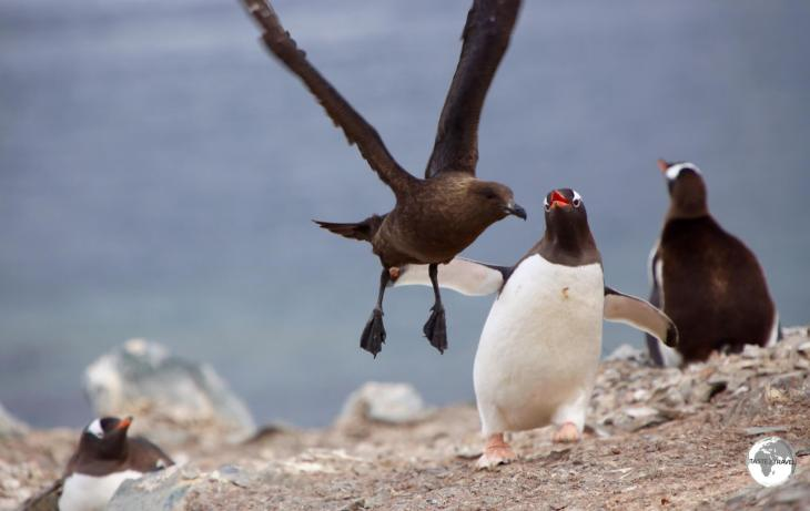 A Gentoo penguin fending off an attack by a predatory Skua on Cuverville island, Antarctica.