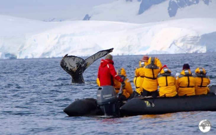 The whale watching at Wilhelmina Bay was spectacular and awe-inspiring - yet another incredible moment in Antarctica.