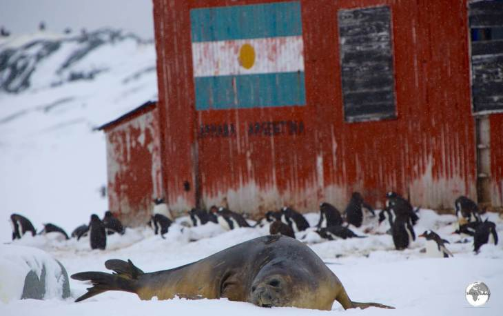 Surrounded by Gentoo penguins, a Southern Elephant seal relaxes outside the Argentine refuge hut on Petermann Island.