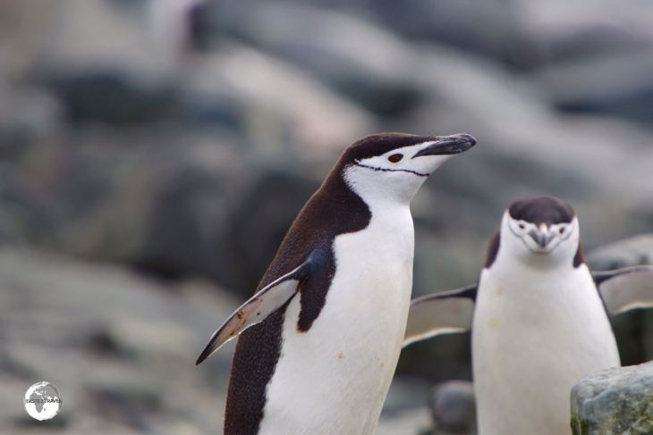 Chinstrap penguins, such as these on Trinity Island, are named for the narrow black band under their heads.