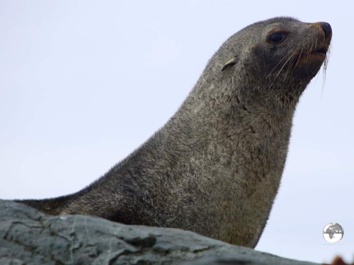 The Antarctic fur seal, such as this one at Trinity Island, is the only 'eared' seal in Antarctica.