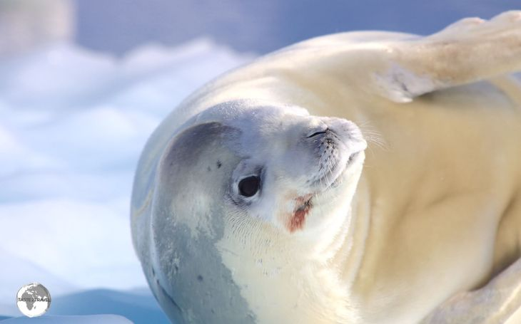 A Crabeater seal basking in the morning sun on an ice floe in the Graham Passage.