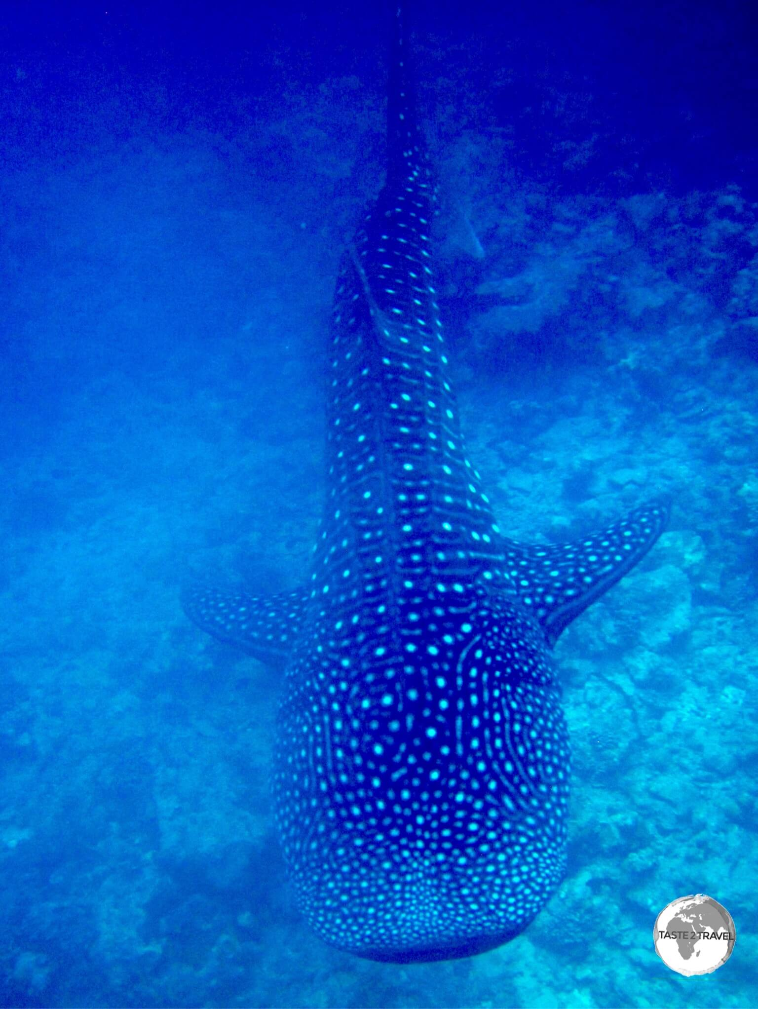Snorkeling with a majestic Whale Shark is an unforgettable experience.