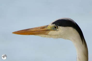 A Grey Heron on Vilamendhoo Island.