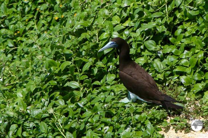 A Brown Booby nesting at the Rock Garden on 'Eua Island.