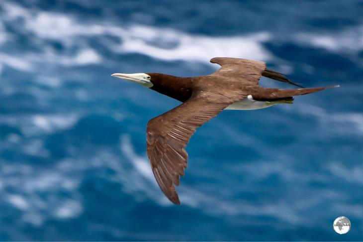 A Brown Booby soaring on the breeze at the Rock garden on 'Eua Island.