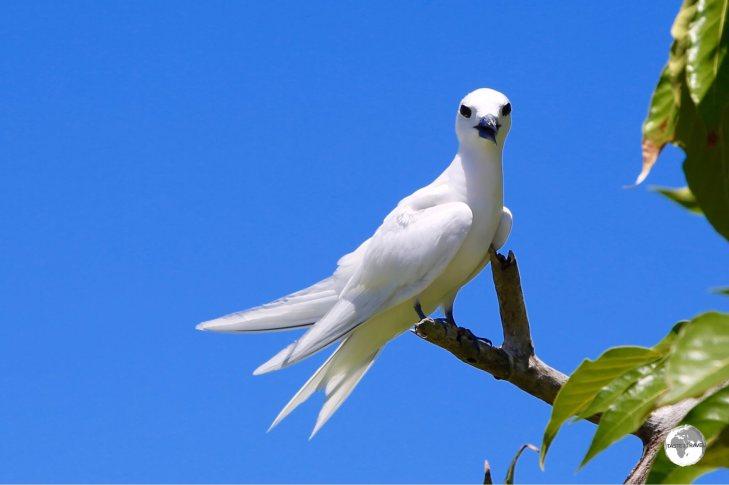 A White tern nesting outside L's lodge.