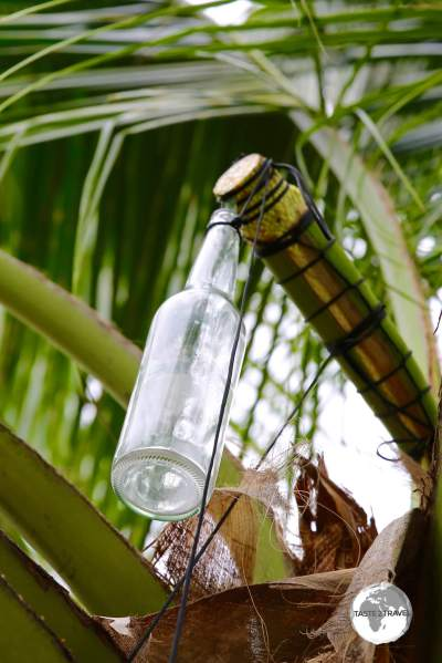 A bottle is used to collect sap from the coconut tree for toddy.