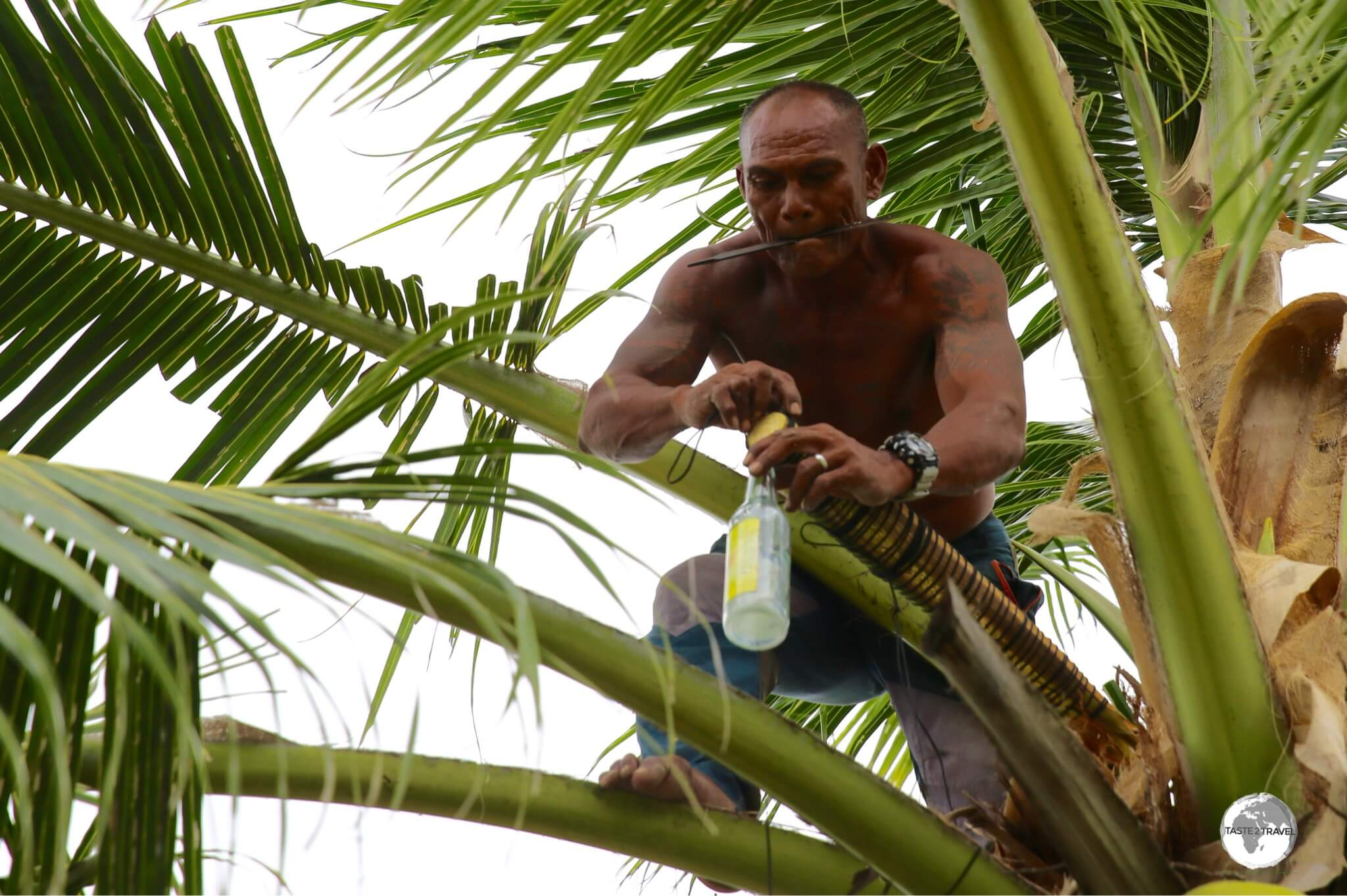 A Tuvaluan 'tapper' preparing to collect sap for his next batch of Coconut Toddy.