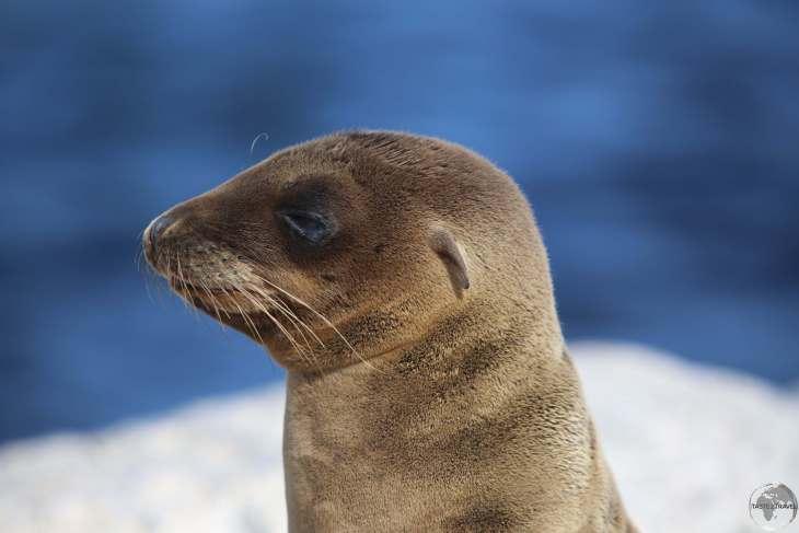 An adolescent Galápagos Sea lion at South Plaza Island.