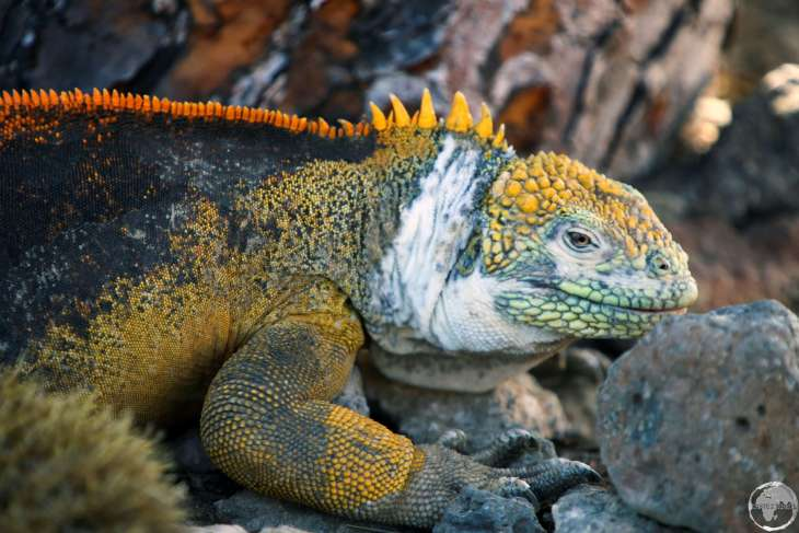 A very colourful Galapagos land iguana on South Plaza Island.