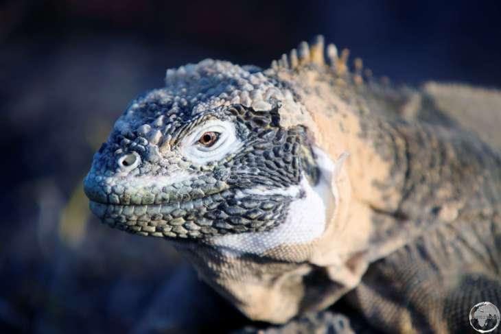 A male Galapagos land iguana on South Plaza Island.