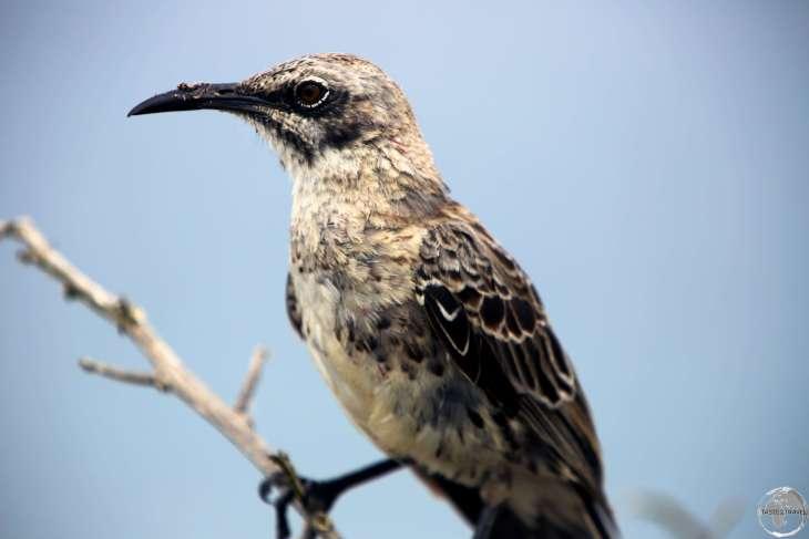A Galápagos mockingbird at Punta Suarez, Española island.