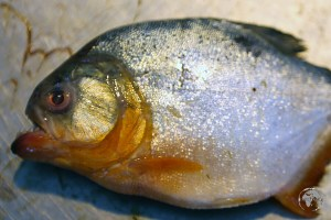 Piranha is in the menu at restaurants in Santerem.