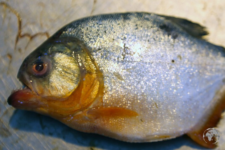 Piranha can be found on many restaurant menus in Santarém.