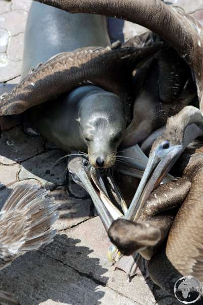 A Galápagos Sea lion competes with Pelicans for fish scraps at the fish market in Puerto Ayora on Santa Cruz Island.